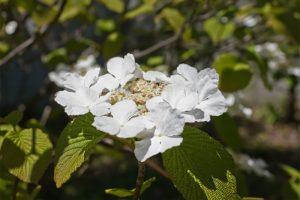 初夏の花白くて香りが良い